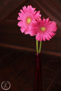 fresh pink gerber daisies, pink flowers, balancing light on objects,