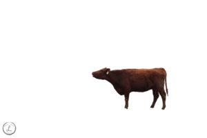stock photography, farm animals, cows, isolated background, bos taurus, cows