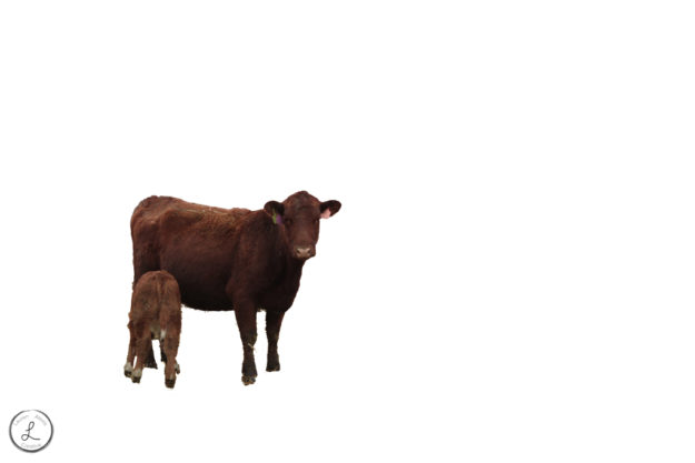 stock photography, farm animals, cows, isolated background, bos taurus, cow and calf